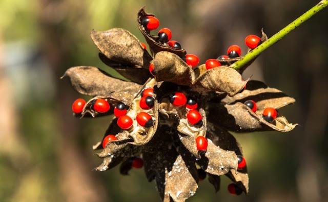 Tanaman kacang rosario yang bisa membunuh