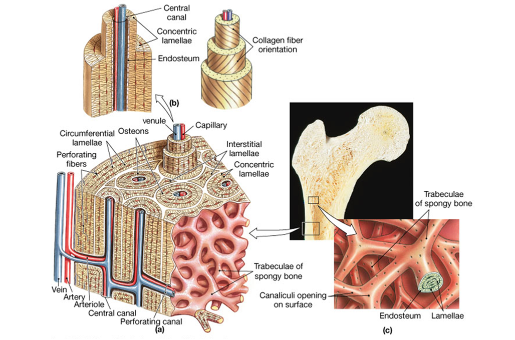 Aula virtual anatomia basica: 3.07.3 Hueso compacto y hueso esponjoso