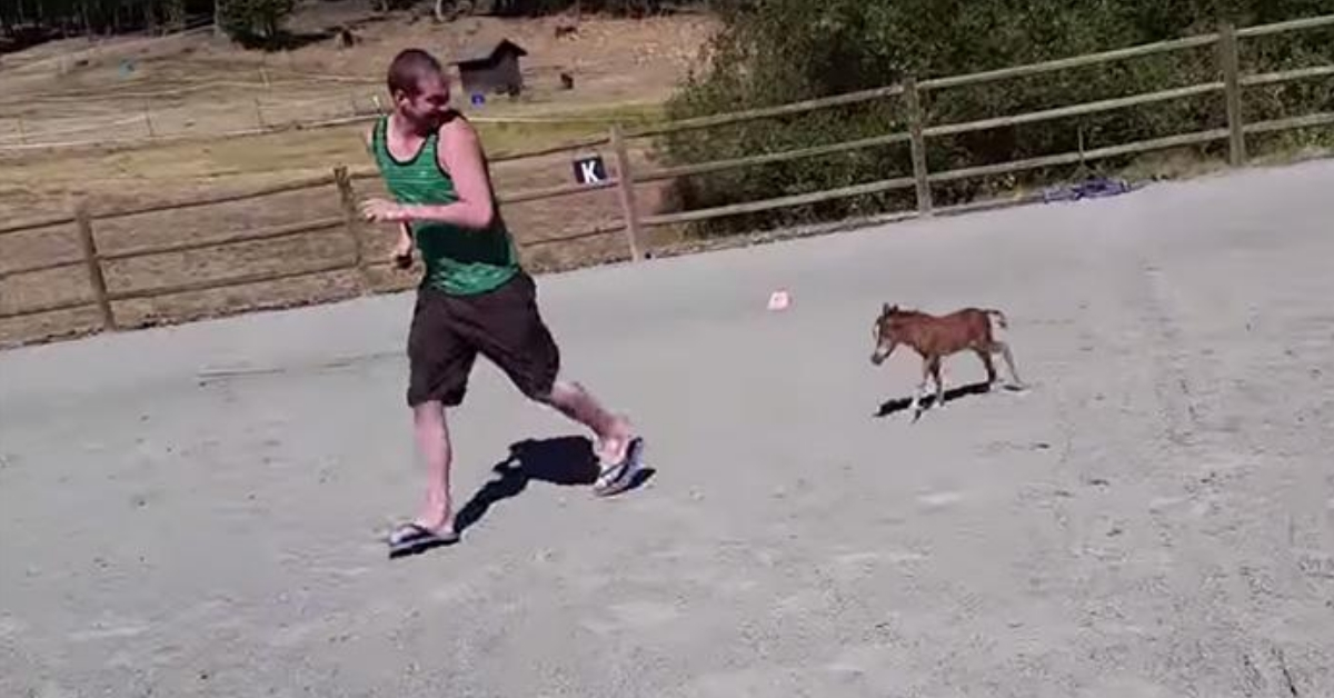 Adorable Video Of Miniature Horse Chasing A Human