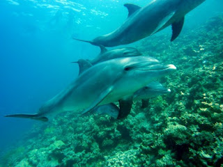 dolphins, dolphins swimming, dolphins in the wild