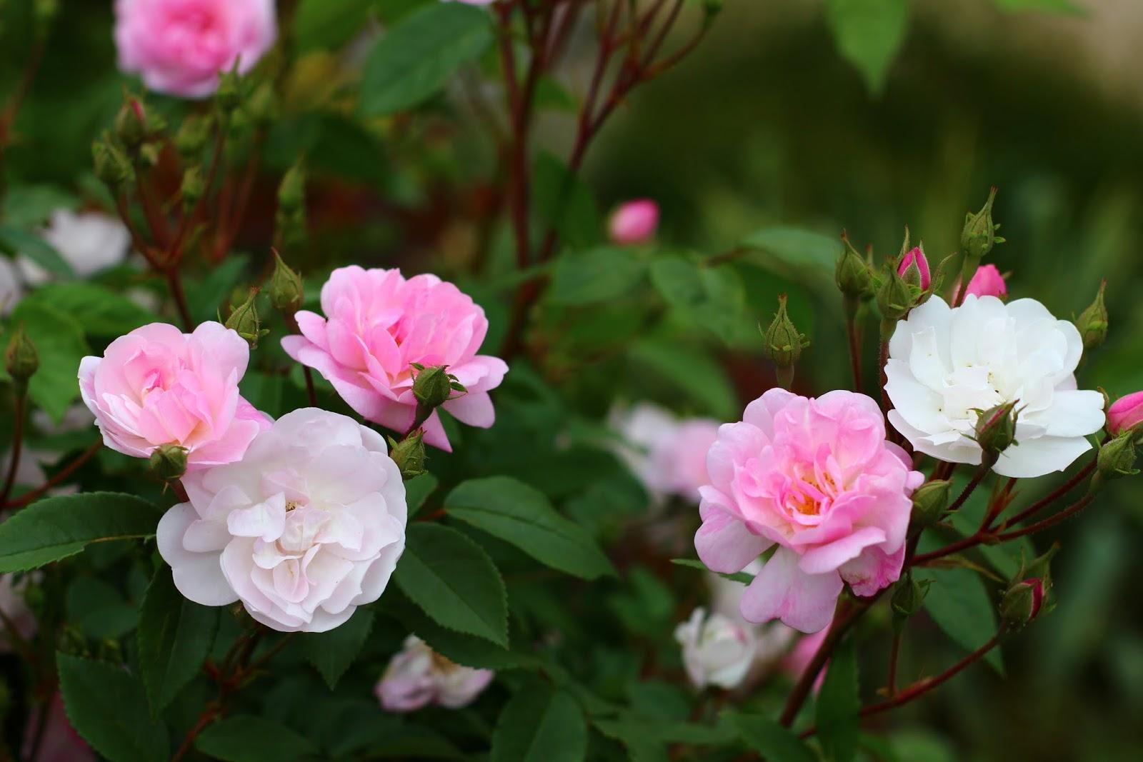 Roses du jardin ch neland - Beau jardin rose and geranium ...