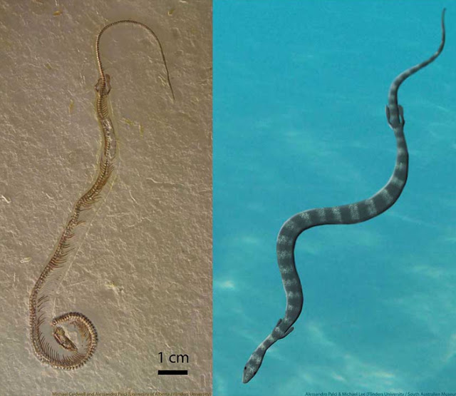 Did first snakes crawl from the sea?