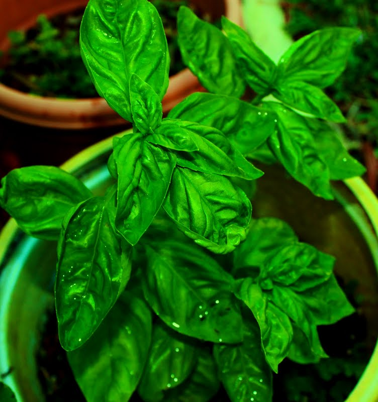 fresh basil from the garden to make fresh garden vegetables to make a dip or spread on bread