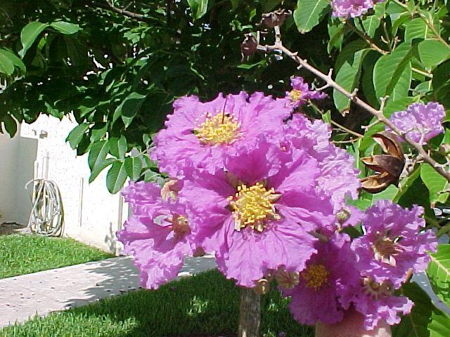 lilas des indes / goyavier fleur | flore de l'île de la réunion
