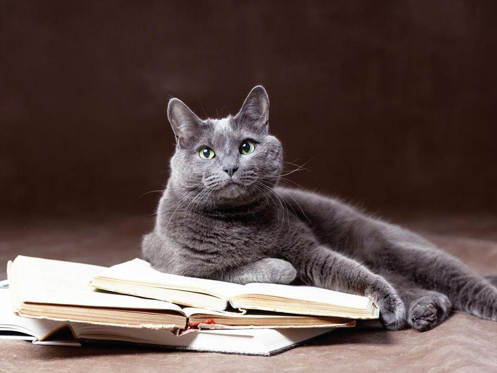 Very Smart of Russian Blue Cat