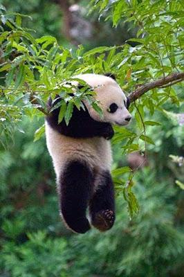 DIvertida fotografia de oso panda jugando en una rama