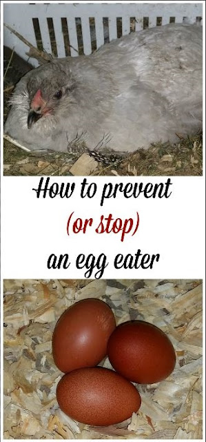 Prevent egg eating | chickens
