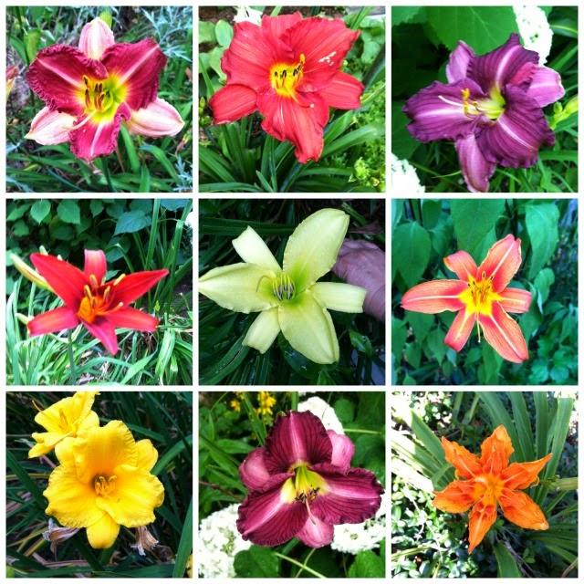 daylily varieties, artist garden, debbie miller
