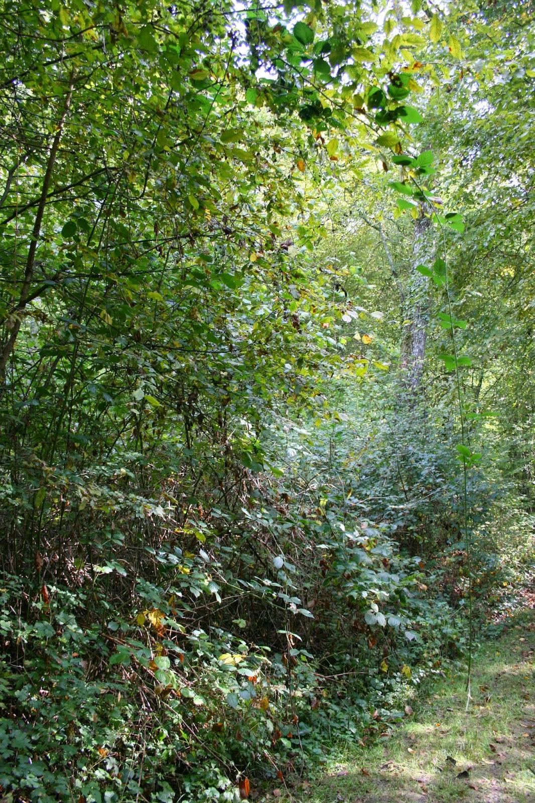 Permafor t cultiver avec les ronces for L arbre qui pousse le plus vite