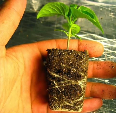 When to Transplant seedlings