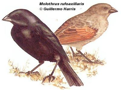 Tordo pico corto Molothrus rufoaxillaris