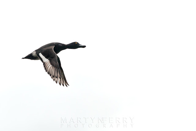 Wings flap in flight of a Tufted duck at Ouse Fen RSPB reserve