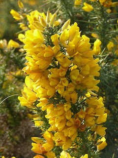 yellow gorse flower