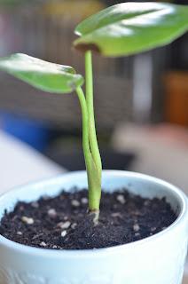 モンステラの茎部分