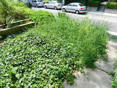 Palmerston Toronto Little Italy Front Garden Cleanup before by Paul Jung Gardening Services