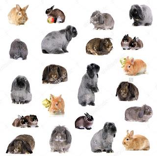 harga pasaran standard kelinci hias Holland Lop murah berkualitas 2017