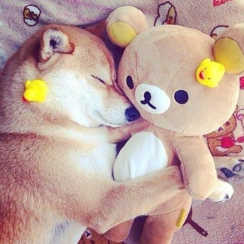 16 bé cún Shiba Inu ngái ngủ đáng yêu tới nỗi chẳng nỡ đánh thức