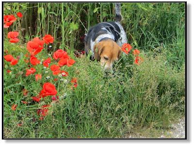 Beagle und Mohnblumen