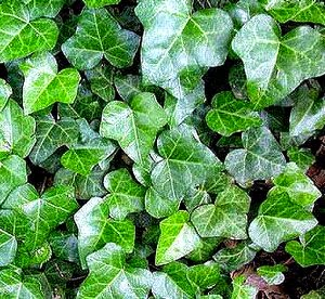English Ivy Hedera helix air cleaning plant