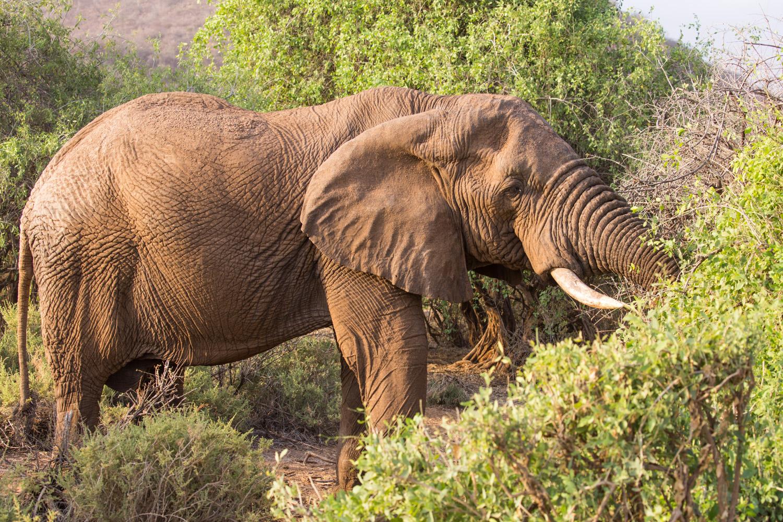 Elefante en Samburu