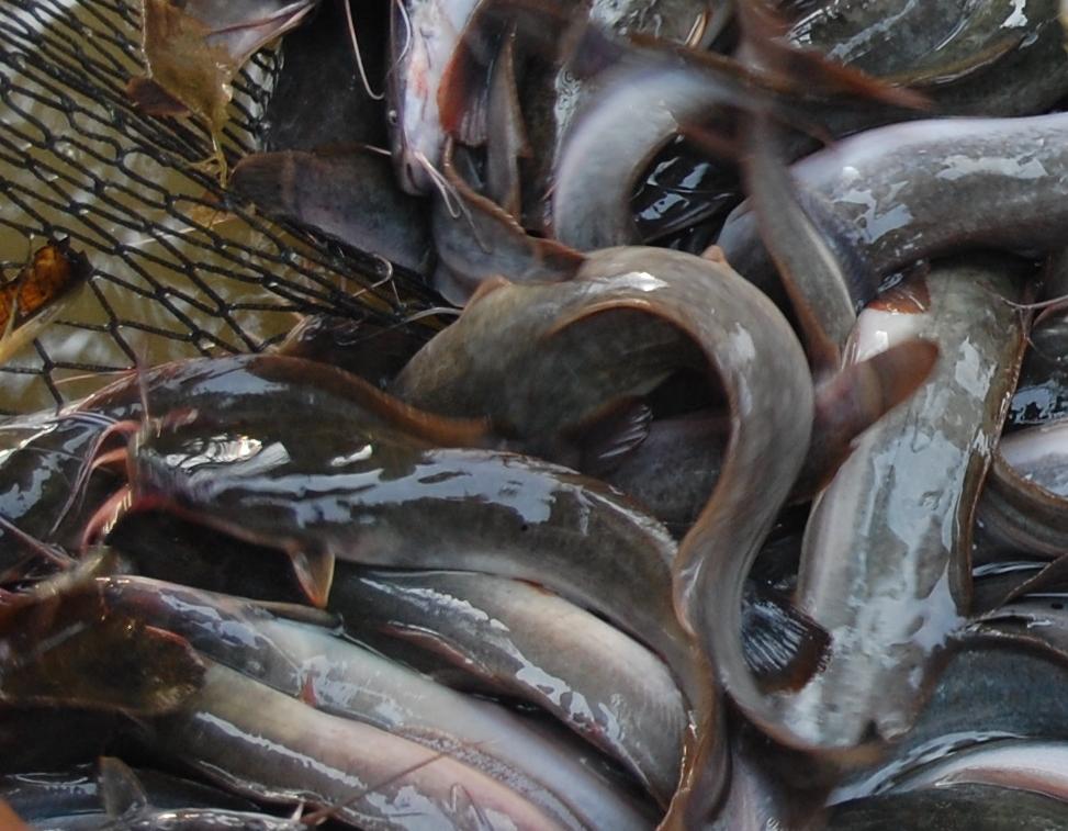 Suria Helang Lui: Prime, tasty keli (catfish)
