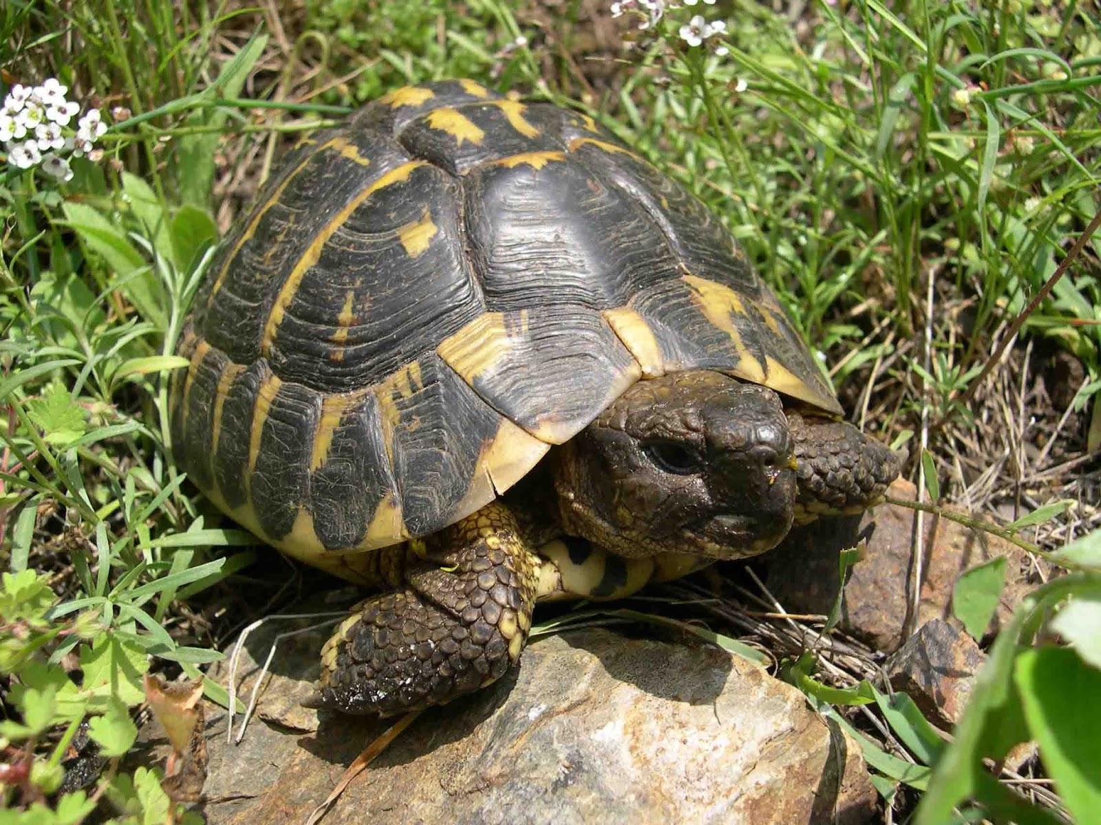 Amici di chicca microchip obbligatorio per le tartarughe for Tartarughe appena nate