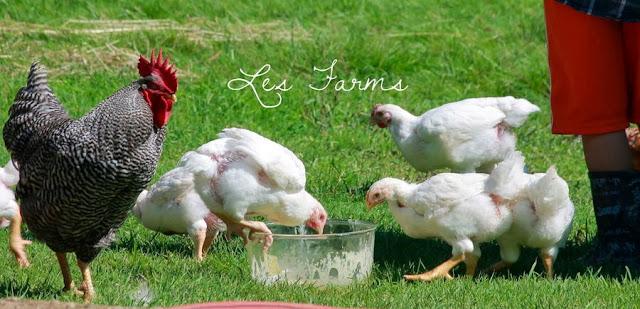 Natural Chicken Keeping Free Ranging Cornish Cross Cx