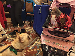 A handsome French Bulldog ogling Coco, the Cornish Rex, at BlogPaws