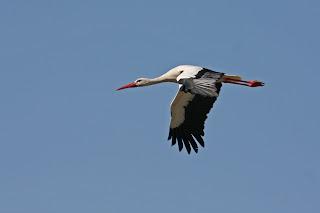 White Stork by Jill Pakenham