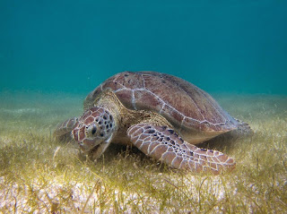 Endangered green sea turtle of North Africa's Mauritania
