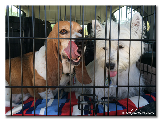 Bentley Basset Hound and Pierre Westie travel in their car kennel