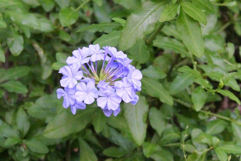 Flor de plumbago (jazmin azul)