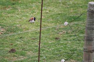 Cape Sparrow.