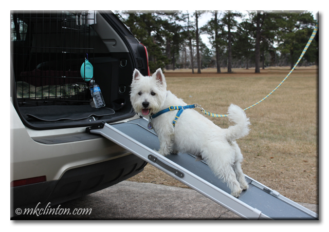 Westie walking up Solvit Deluxe Pet Ramp