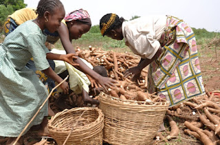Young girls helping in cassava processing in Nigeria. (Photo by IITA)