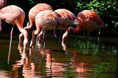 Flamingo, zog flamingo, qızılqaz, chim hồng hạc, plameniak, 火烈鳥, фламинго, fenicottero, zog flamingo, qızılqaz, flamenko, flamings, flamingas, flaming, flamingó, фламінга, মরাল, 火烈鳥,フラミンゴ, 火烈鳥, 플라밍고, фламинго,