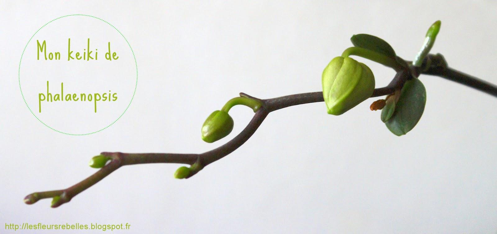 Diy comment s parer et rempoter un keiki de phalaenopsis - Comment couper orchidee apres floraison ...