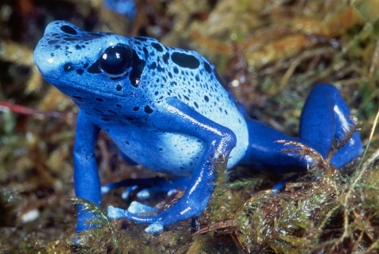 Hasil gambar untuk Blue Poison dart katak