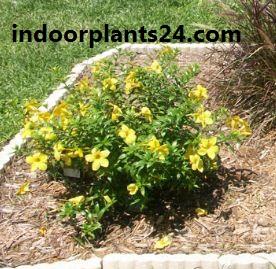 Allamanda cathartica plant image