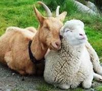 cara membedakan Daging Kambing Dengan Daging Domba