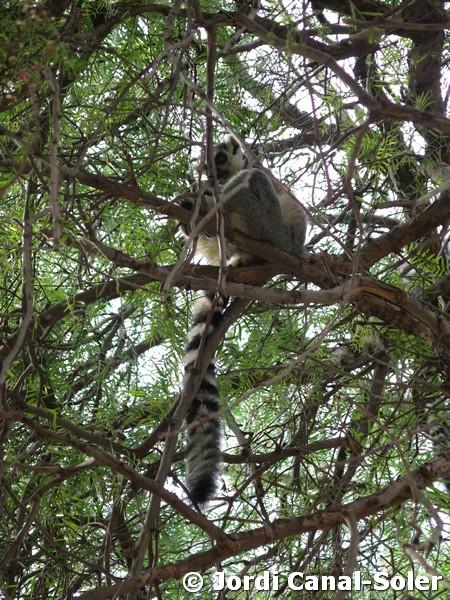 Lemur en Bioparc Valencia