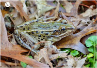 http://sciencythoughts.blogspot.co.uk/2014/11/a-new-species-of-leopard-frog-from-new.html