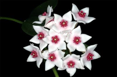 โฮย่า เพชรอุ้มผาง, นมหิน; Hoya lithophytica, (2555)