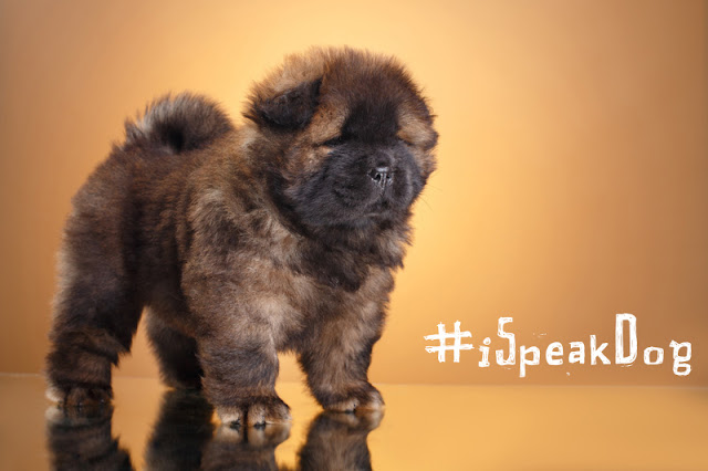 A chow chow puppy poses with the hashtag #iSpeakDog