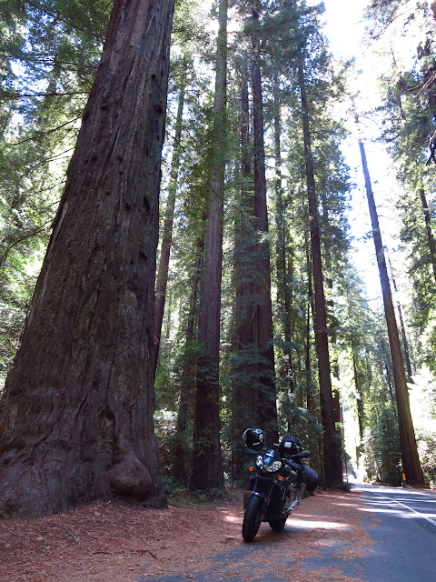 Aprilia Tuono Avenue of the Giants Redwoods