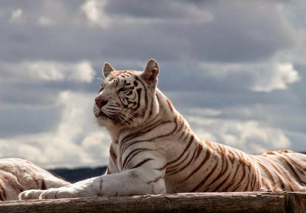 30 Hasil Foto Macan Yang Imut dan Gambar Harimau Putih