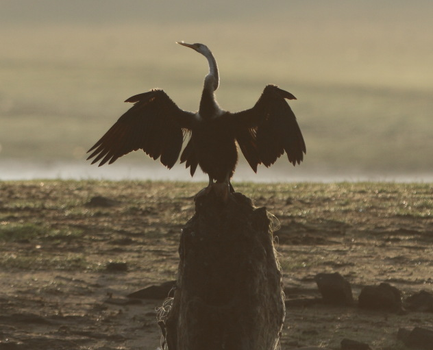 Silhouette of Indian darter bird shining in the morning sun at Kabini National Park
