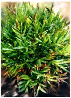 Mangrove Acrostichum aureum Linn.