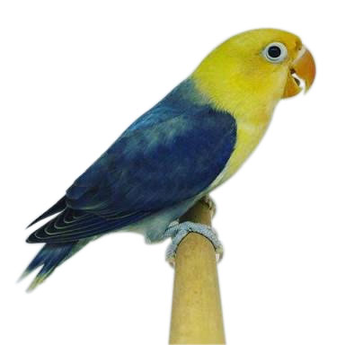 Channels They Call It Parblue Or Yellow Face Lovebird