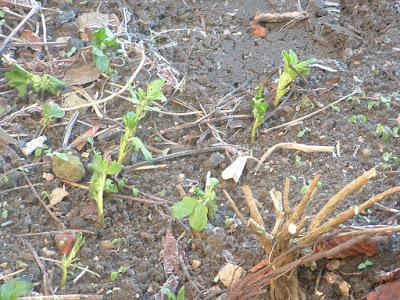 Broad bean seedlings growing in a frosty garden bed